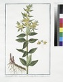 Lysimachia lutea major, quæ Discoridis, foliis ternis. (Loosestrife) (NYPL b14444147-1125072).tiff