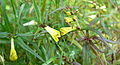 Mélampyre des prés (Melampyrum pratense)FL2flower.jpg