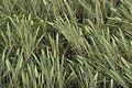 MCPC photos Barley ready for Harvest II (34846620662).jpg