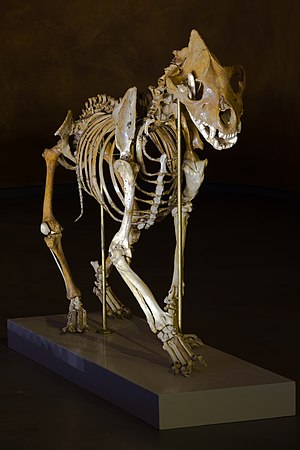 Cave hyena - Image: MHNT Crocuta crocuta spelaea 2011 10 29