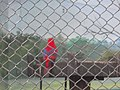 Ma - Eos bornea - India 2.jpg