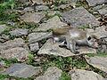 Macaca sinica in Dambulla 01.JPG