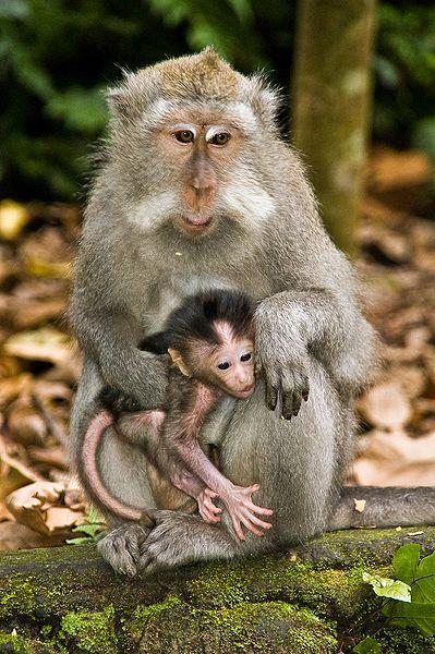 File:Macaque crabier mère et bébé.jpg