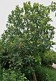 Madhuca indica (Mahua) in Hyderabad, AP W IMG 0067.jpg