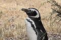 Magellanic Penguin (Spheniscus magellanicus) (15768419008).jpg