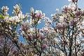 Magnolia, Alderley Edge (5603701473).jpg