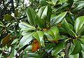 Magnolia grandiflora kz3.jpg
