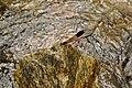 Malabar Torrent Dart from Valparai Anamalai hills DSC 2835.JPG