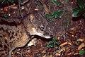 Malagasy Civet (Fossa fossana) (44721240184).jpg