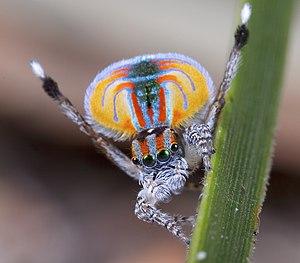 Spiders of Australia - Maratus volans