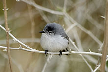 Male Blue-gray Gnatcatcher.jpg