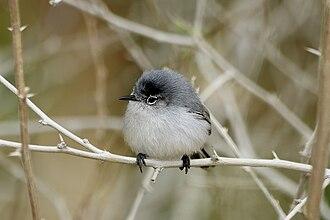 Blue-gray gnatcatcher - Image: Male Blue gray Gnatcatcher