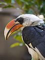 Male Von der Decken's Hornbill (Tockus deckeni).jpg
