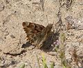 Mallow Skipper . Carcharodus alceae - Flickr - gailhampshire.jpg