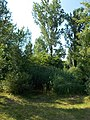 Malom Lake, rivershore flora, 2019 Veresegyház.jpg