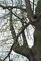 Malonice, památný strom III.jpg