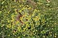 Malta - Marsaxlokk - Triq Delimara - Xrobb L-Ghagin - Euphorbia pinea 02 ies.jpg