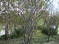 Malus halliana in Xixi National Wetland Park.JPG