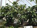 Malvales - Theobroma cacao 1.jpg