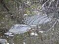 Mama gator kiawah (36387487565).jpg