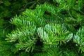 Manchurian Fir Abies holophylla 02.jpg