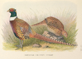 Manchurian Ring-necked Pheasant by H. Jones.png