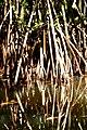 Mangroves Rio Dulce Guatemala 1.jpg