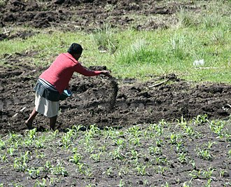 Plant nutrition - Farmer spreading decomposing manure to improve soil fertility and plant nutrition