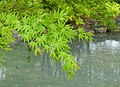 Maple leaves in rain - Toji - Kyoto, Japan - DSC07079.jpg