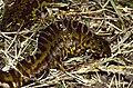 Marbled Newts (Triturus marmoratus) male and female (left corner) (36116729152).jpg