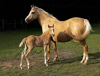Palomino - A palomino mare with a chestnut foal. This golden shade is widely recognized as palomino.