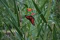 Mariposa (3683086250).jpg