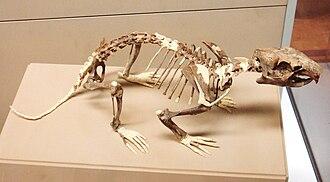 Marmot - Marmota primigenia fossil
