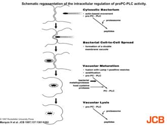Paracytophagy - Cartoon of paracytophagy during Listeria infection, progressing to secondary vacuole formation and escape.