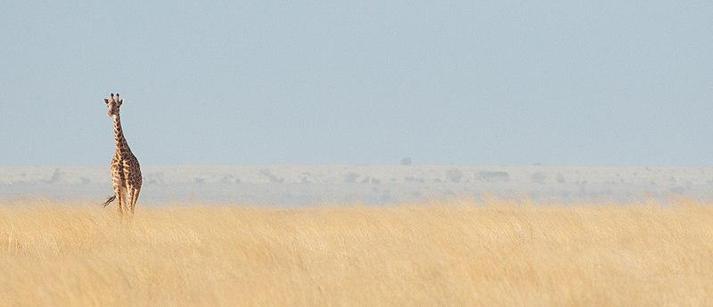 File:Masai Giraffe (Kenya, Day 1).jpg