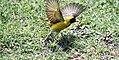Masked Weaver (38125892776).jpg