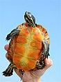 Massachusetts Turtle Celebration (5860912885).jpg