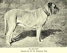 English Mastiff - Wikipedia