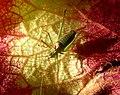Meconema meridionale. Southern Oak Bush Cricket - Flickr - gailhampshire.jpg