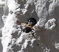 Megachilidae. Chalicodoma sensu lato male. Likely subgenus Callomegachile. - Flickr - gailhampshire (1).jpg