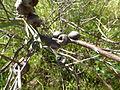 Melaleuca fulgens (fruits).JPG