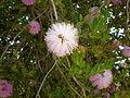 Melaleuca nesophila 1c.JPG