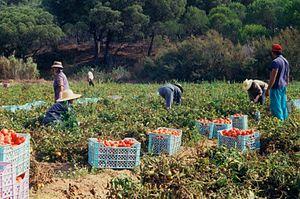 Post-harvest losses (vegetables) - Tomato harvesting in Portugal