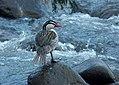 Merganetta armata (Pato de torrente) - Flickr - Alejandro Bayer (5).jpg