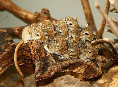 A group of Mongolian Gerbils, Meriones unguiculatus