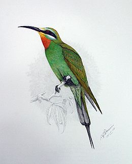 Merops persicus00