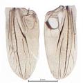 Metrioptera roeseli, linker und rechter Vorderflügel.PNG