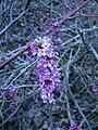 Mezereon flowers (Whitefish I) 1.JPG