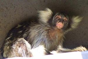 Santarem marmoset - Image: Mico humeralifer