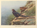 Mikado Pheasant by George Edward Lodge.png